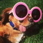 舌を出している可愛すぎる犬が超人気!?多数画像あり!服も可愛いけど、やっぱり舌が可愛いwwww